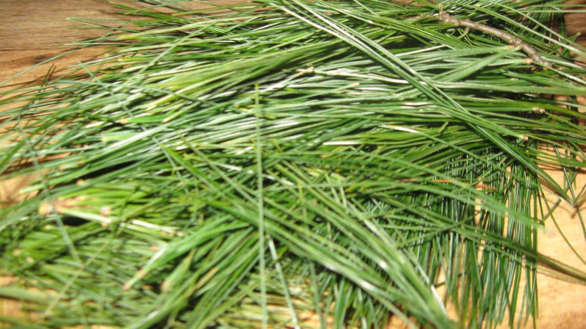 Remember to Take Your Pine Needles for Good Health!