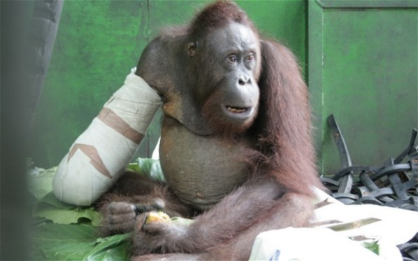 This orangutan chewed off its own arm to escape a trap set in a palm oil plantation. Luckily, it was found and saved before dying.  It will likely be re-released into the wild.  Photo: Caters. Click on photo to link to article.