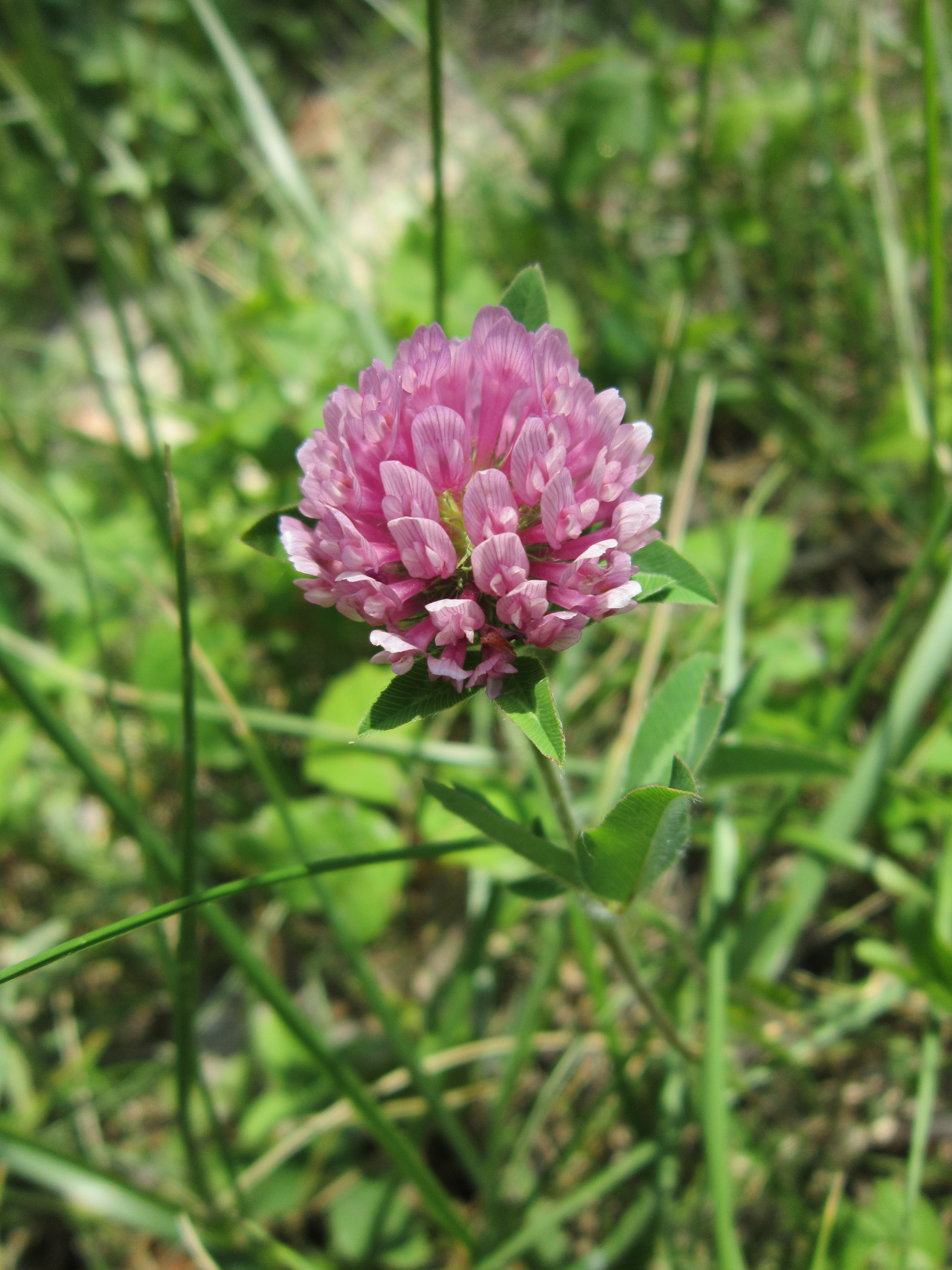Get Your Red Clover Before The Seasons Over These Light Footsteps