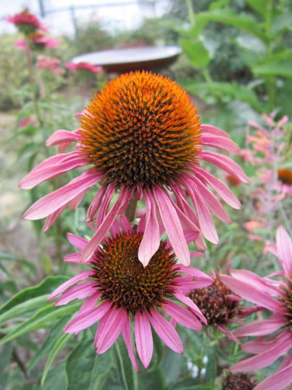 Echinacea growing in my yard.