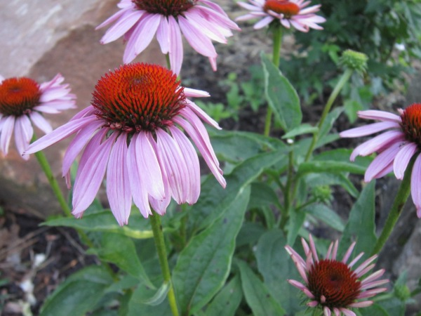 Of course I already planted echinacea.