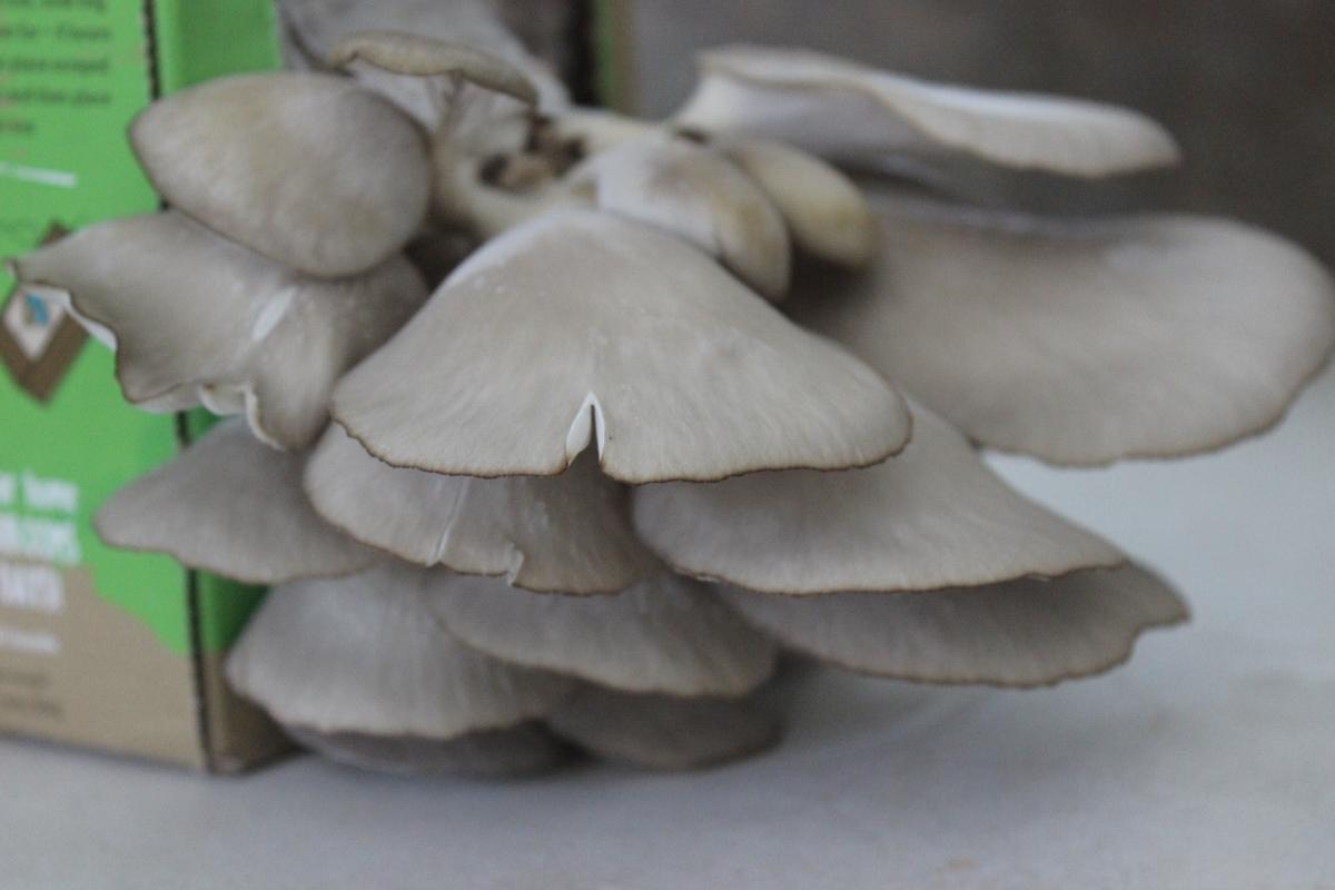 Homegrown Mushroom Tacos