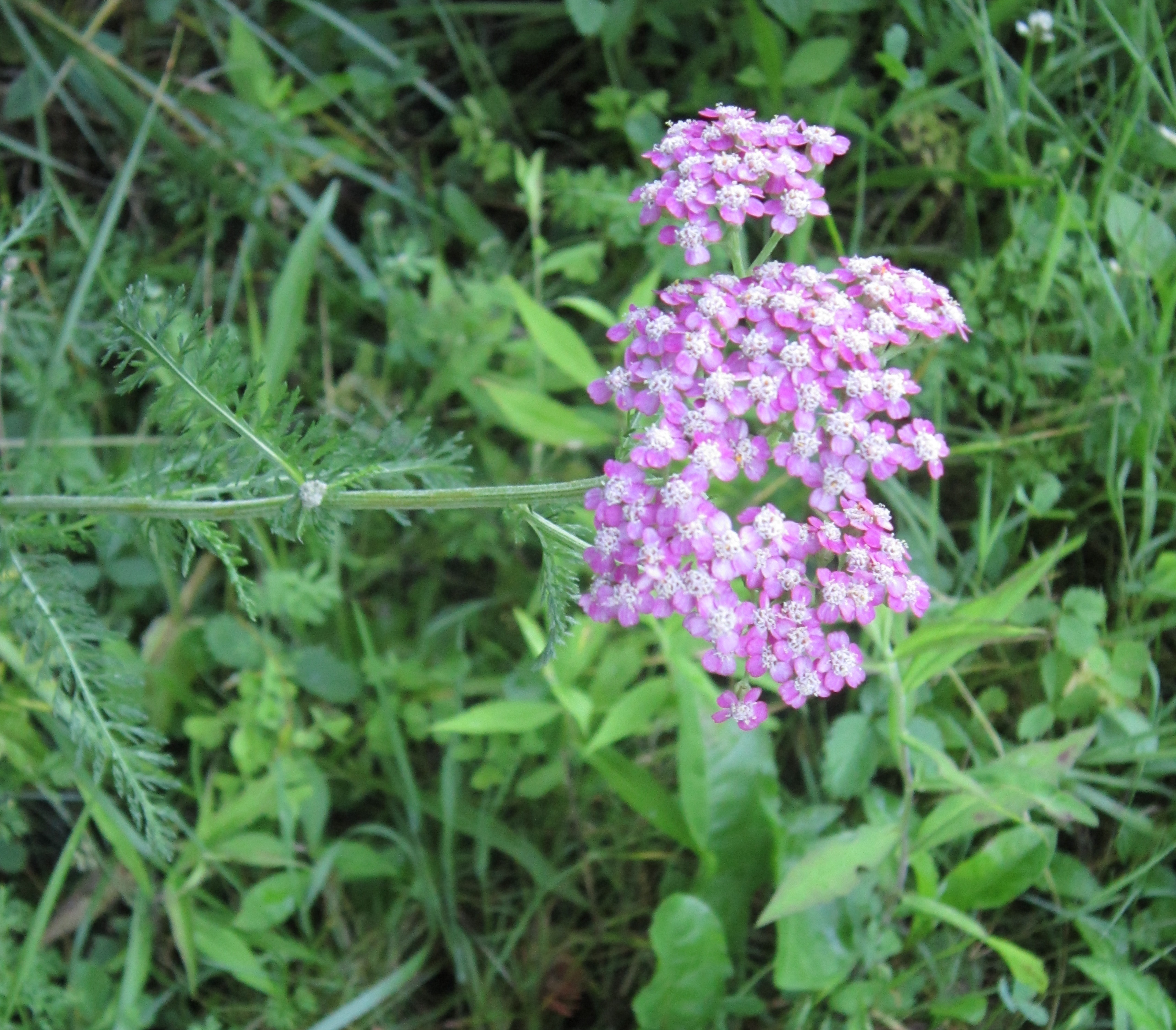 Homemade Herbal Bug Spray with Yarrow | These Light Footsteps